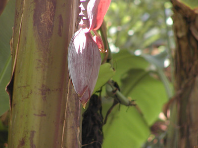 Mocha: Banana flower
